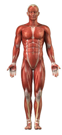 Human figure showing muscular system